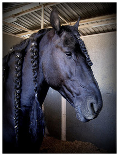 A Friesian horse with big braids