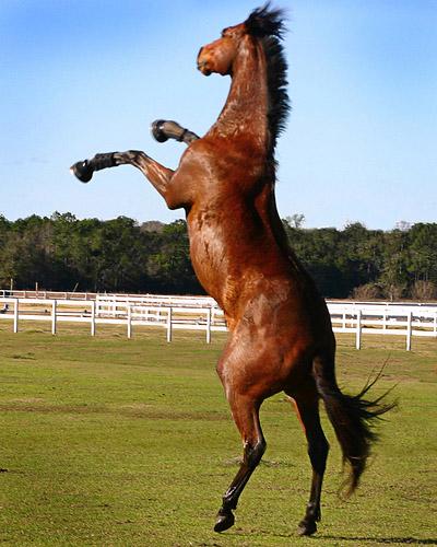 Silver stallion being ridden reverse cowgirl
