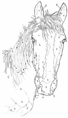 ever wanted to draw a horse the equinest