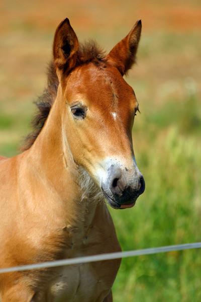 Bay draft foal looking at camera