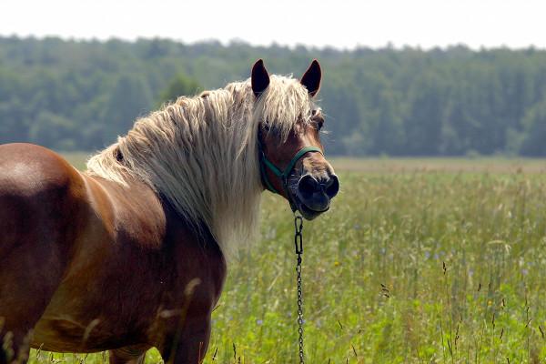 Flaxen stallion in a field of flowers