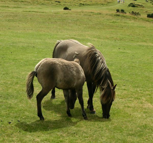 Dun Dartmore ponies grazing