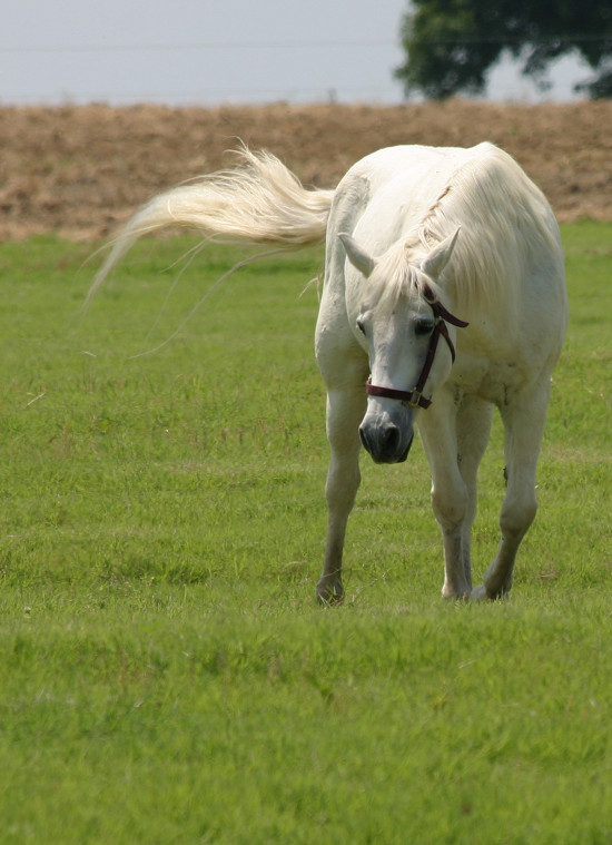 White horse walking in a field