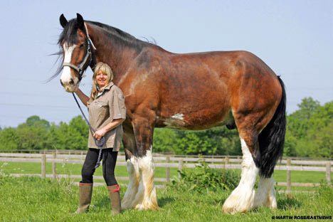 HUGE Draft Horses