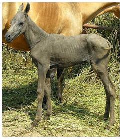 A hairless Akhal Teke foal