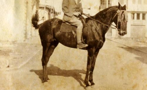 Israeli Horse