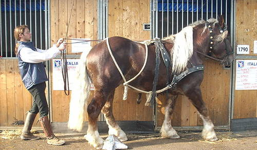 Italian Heavy Draft Horse