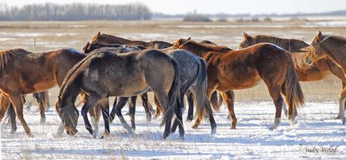 Mare Herd in Winter