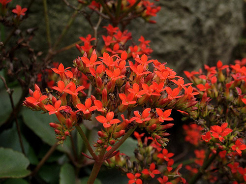 Kalanchoe