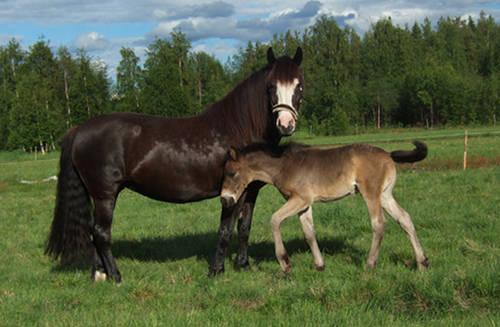 Kaldblodstraver Horse