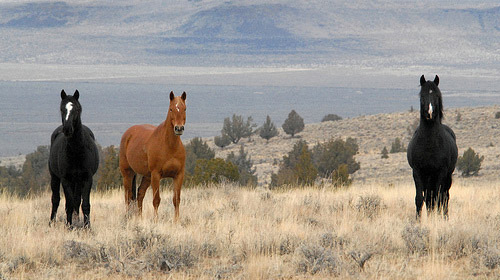 mustang horse facts. Kiger Mustang