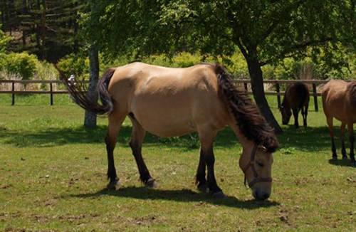 Kiso Horse