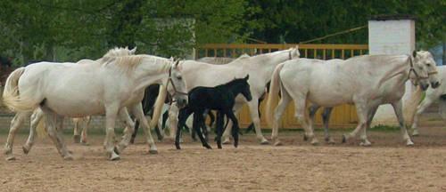 Kladruby Horse