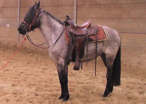 Kentucky Mountain Saddle Horse
