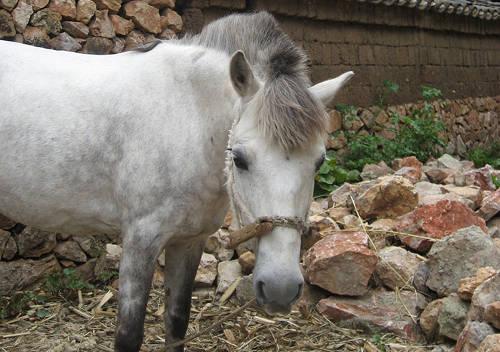 Lijiang Pony