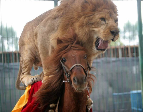 A lion riding a galloping horse