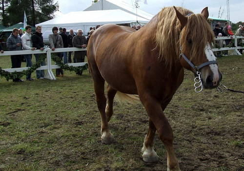 Lithuanian Heavy Draft Horse