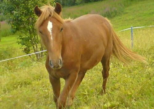 Lyngen Horse