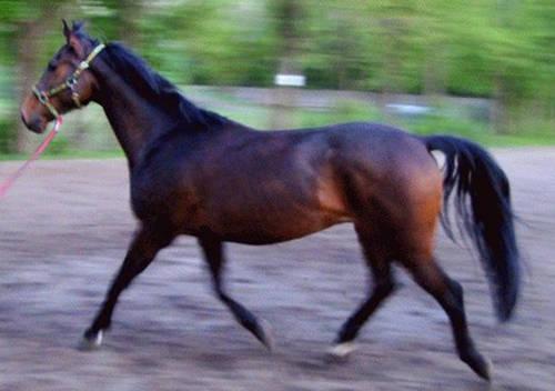 Malopolski Horse