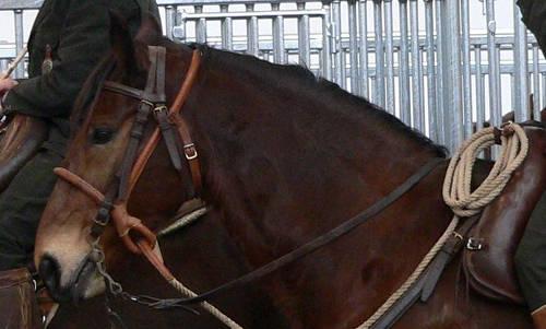 Maremmano Horse