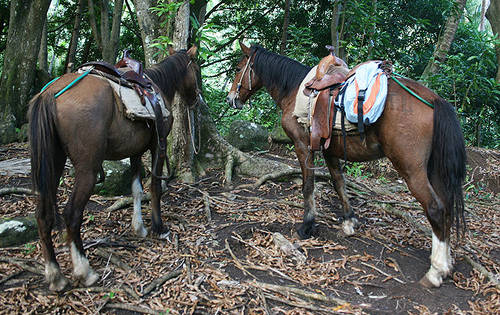 Marquesas Islands Horse