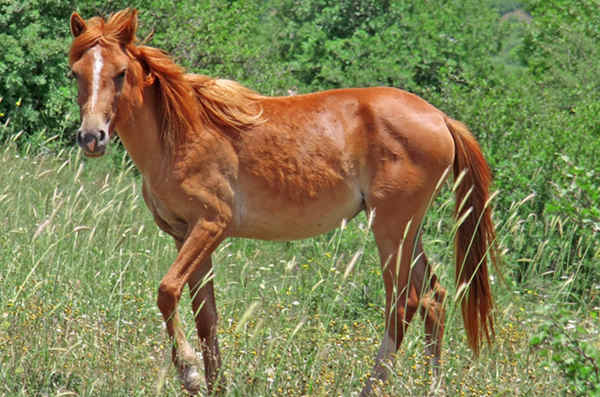 Mealy or Pangare Horse Coat Color Modifier | The Equinest
