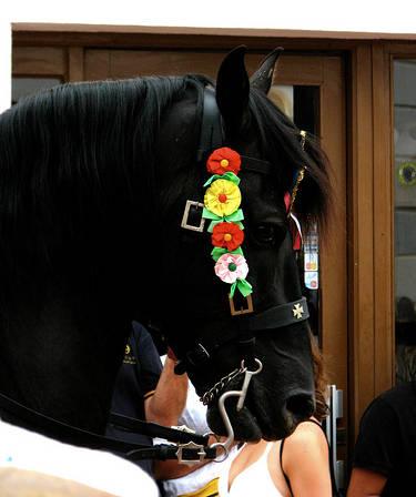Menorquin Horse