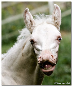 Baby blue eyed horse