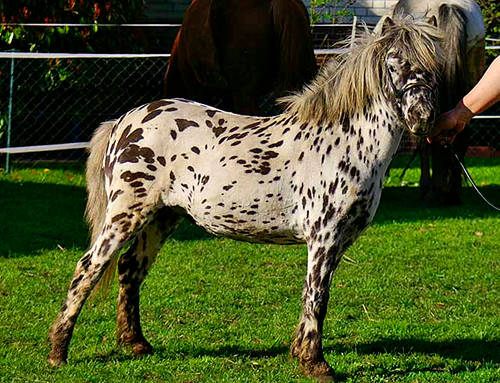Nederlands Appaloosa Pony