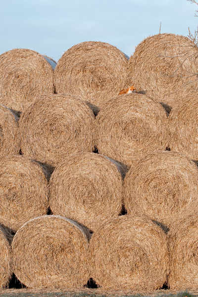 Fox on A Haystack
