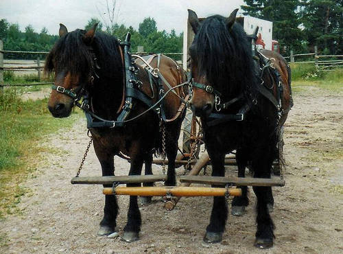 North Swedish Horse