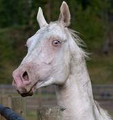 Rare Albino Horses Not Albino