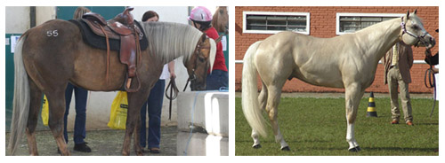 Dark Palomino Horse