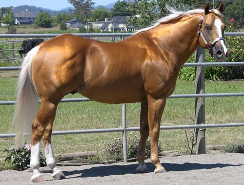 ALL MEMBERS: Palomino-horse