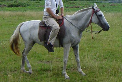 Pantaneiro Horse