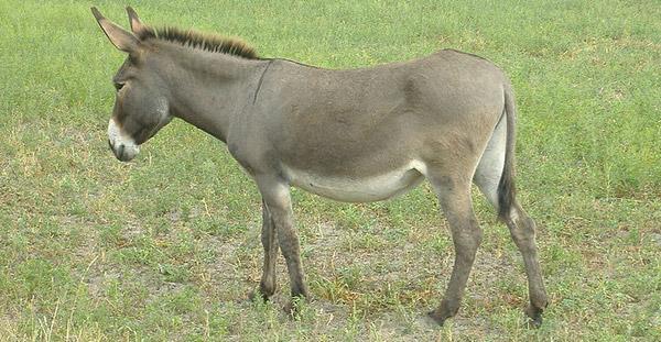 Parlag Donkey