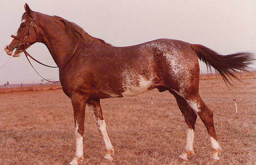 Mangalarga Paulista Horse