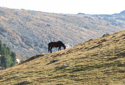 Pechora Horse