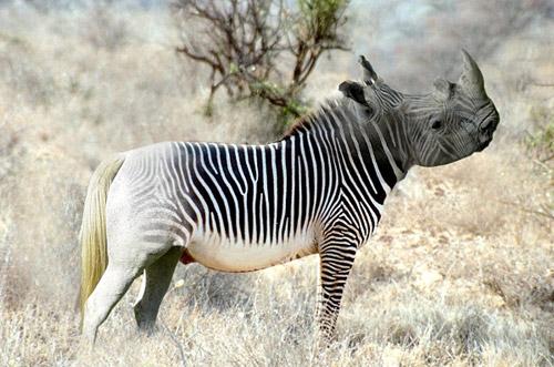 Zebra Rhino Photoshop Image