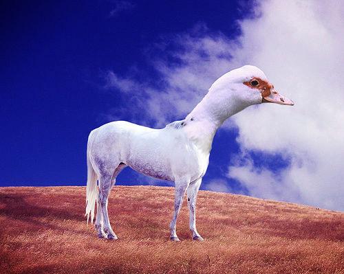 Horse Duck Photoshop Image