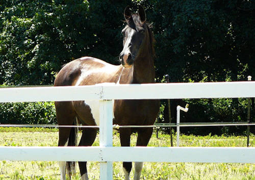 Pintabian Horse