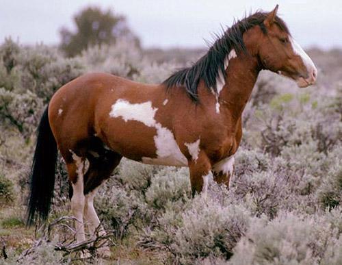 Frame Pinto Horse