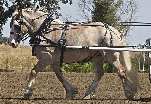 Sabino Pinto Horse