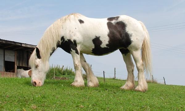 Tovero Pinto Horse