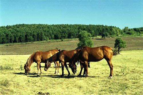 Pleven Horse