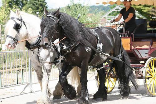 Poitevin Horse