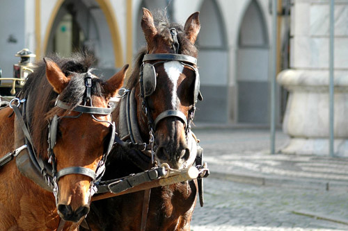 Portuguese carriage horses