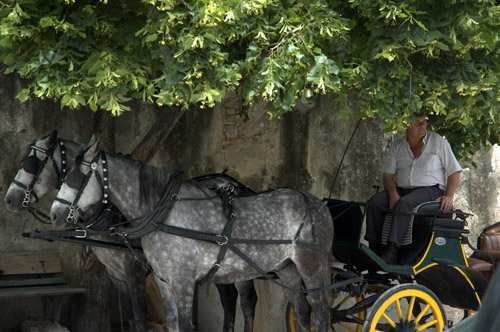 Horses and carriage in the shade of a tree