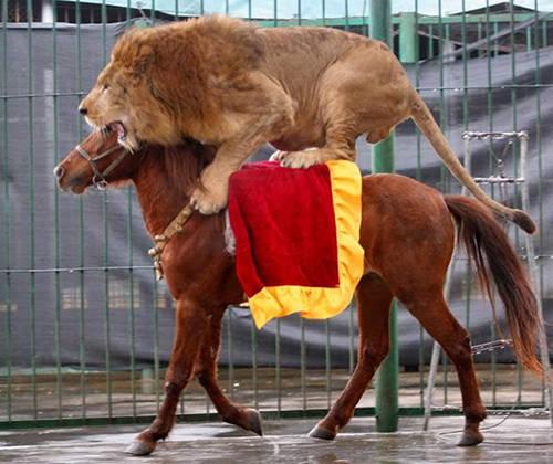Lion Riding Horse
