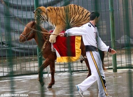 Tiger Riding Horse
